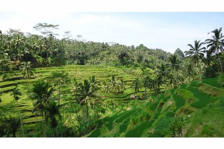 Rice Fields outside of Ubud