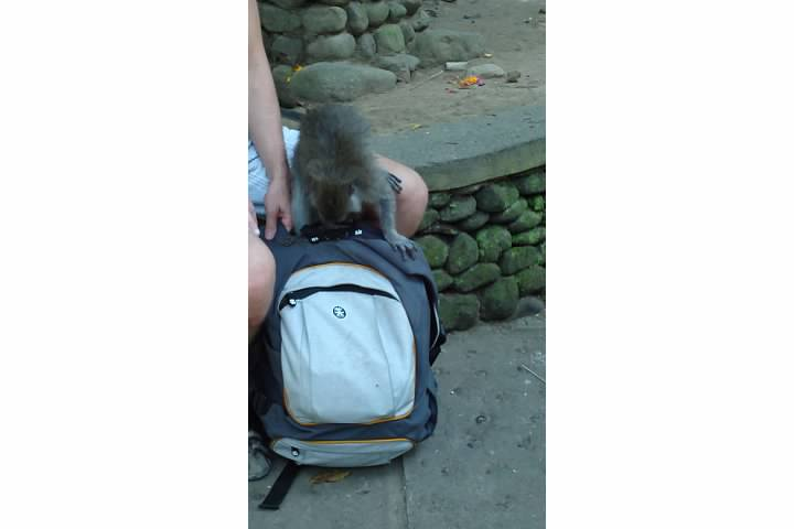 Monkey opening a backpack looking for a banana